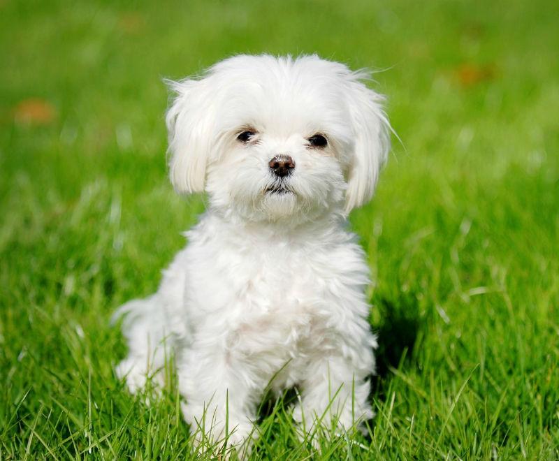 Картинки по запросу Собака чисто белой масти