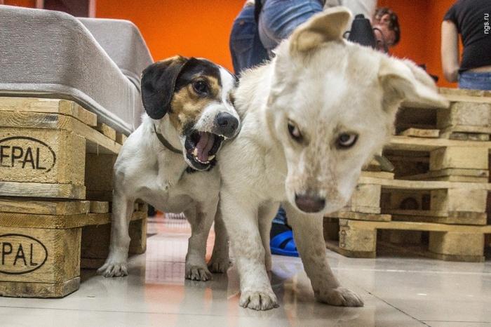 В Новосибирске открылось кафе, где бродят четыре пса, — их нельзя кормить, но можно забрать домой Антикафе, Новосибирск, Собака, Длиннопост