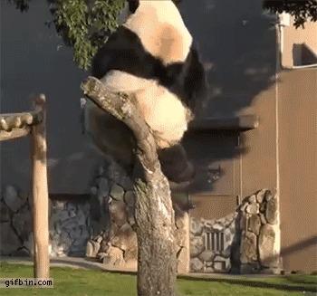 И снова после новогодних праздников Панда, Новогодние каникулы, Толстопопая панда, Гифка
