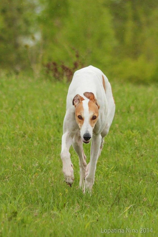 Злобный грейхаунд Дара. Собака, Борзая, Английская борзая, Грейхаунд, Длиннопост