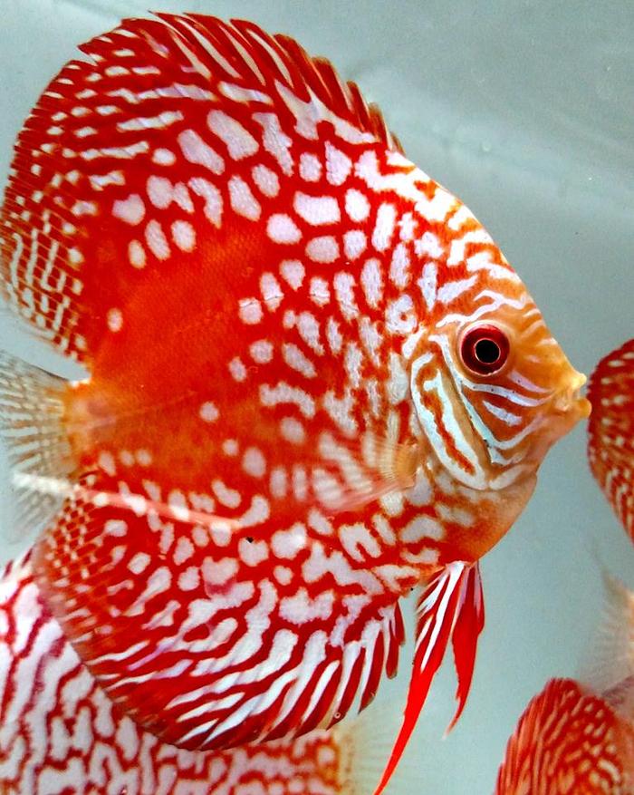 Красные дискусы Дискуссия, Аквариумные рыбки, Длиннопост