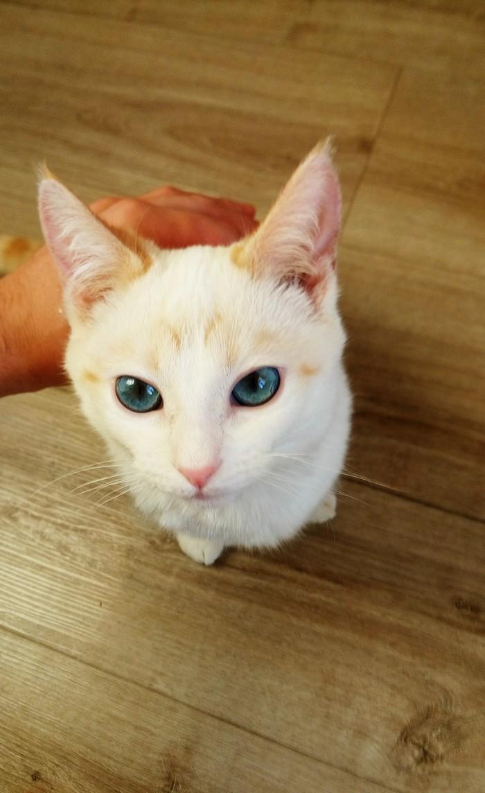 Белый кот, рыжие уши. Кот, Белый кот с голубыми глазами, Снежок, Милая тварь, Длиннопост