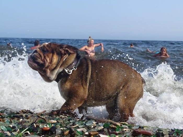 Купаться подано, сэр! Собака, Английский бульдог, Приморский край, Бухта стеклянная, Пляж, Море, Длиннопост
