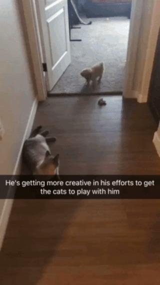 Он становится все более изобретательным в попытках завлечь котов в совместные игры