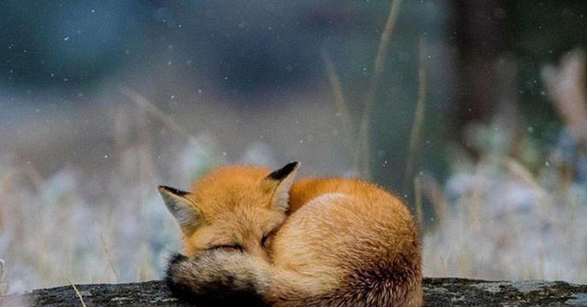 фото спящих лисиц отстать моды