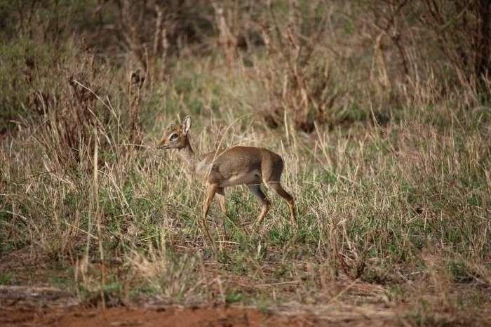 Мини-мисс очарование Кении! Самая маленькая антилопа в мире может поместиться на ладони :)