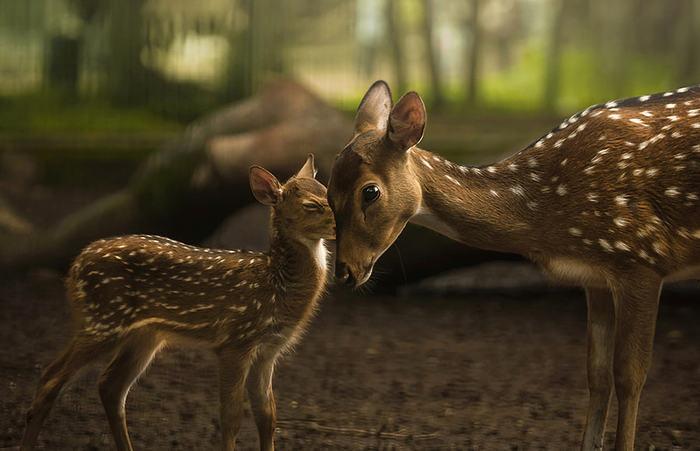 Оленёнок и мама