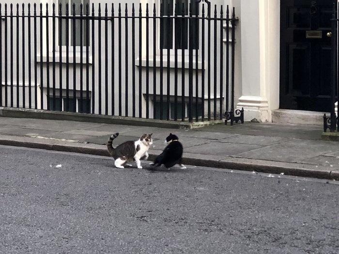 «Драма на Даунинг-стрит»: в Великобритании кот премьера подрался с котом из МИДа Breaking news, Великобритания, Кот премьер министра, Новости, Кот