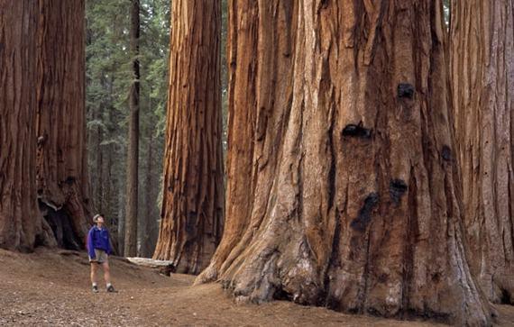 Самое, самое высокое дерево в мире   Пикабу
