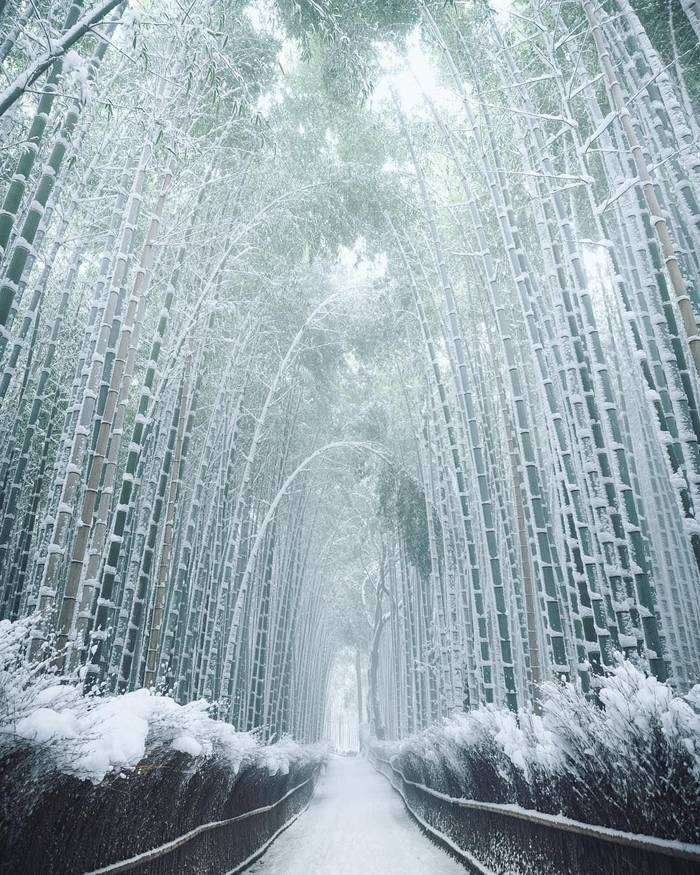 Бамбук зимой. Япония.