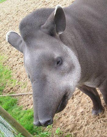 Тапир Тапир, Животные, Фотография, Длиннопост
