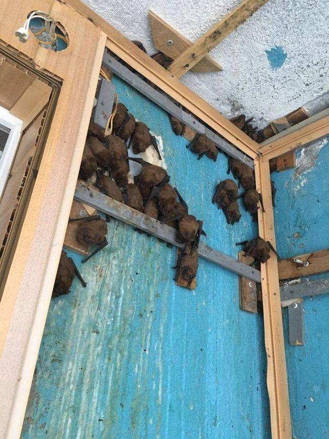 Ремонт балкона обещал быть скучным… Но тут внезапно в дело вмешалась тысяча рыжих вечерниц! истории, летучие мышы, спасение, длиннопост, Харьков