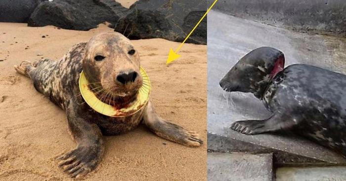"""""""Спасаем девочку, срочно!!!"""" По пляжу бродила тюлениха, на шее которой крепко сидела летающая тарелка… спасение, тюлень, экологи, длиннопост, жесть, мусор, животные"""