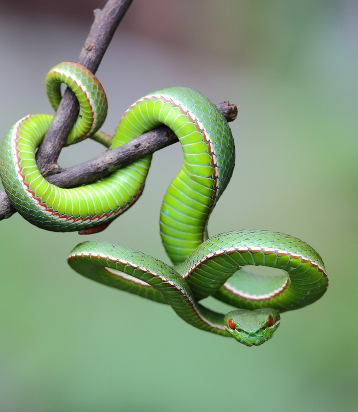 Эквилибристика Пресмыкающиеся, Змея, Куфия, Животные, Природа, Фотография