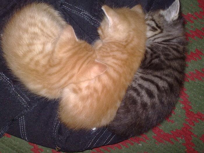 Кошки, такие кошки :) Трехцветная кошка, Любовь к животным, Длиннопост, Кот