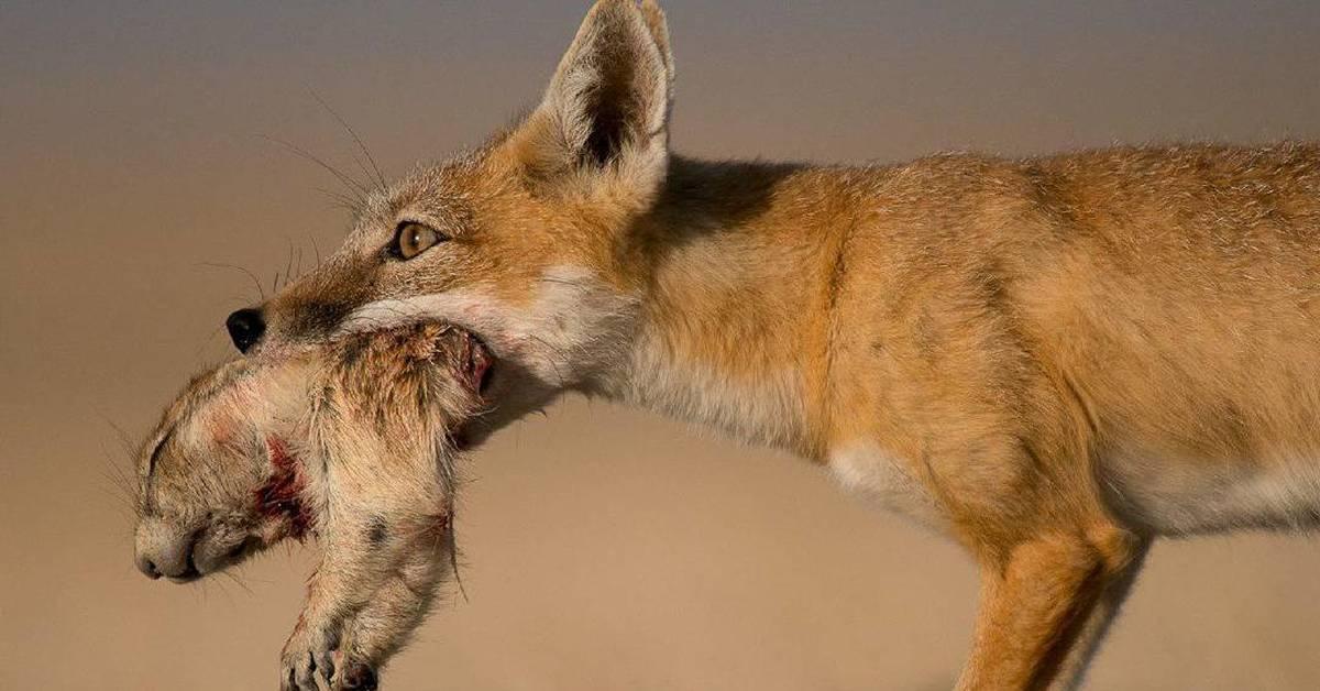 картинки хомяки степные волки кожи рук