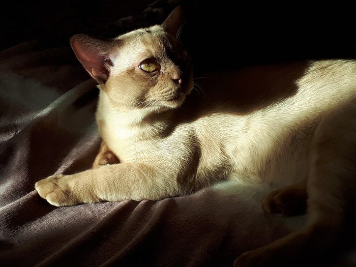Демонической кошачьей красоты пост Кот, Животные, Фотография, Кот Шнур, Бурма
