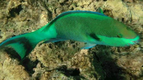 Некоторые обитатели красного моря Рыба, Красное море, Дайвинг, Египет, Гифка, Длиннопост