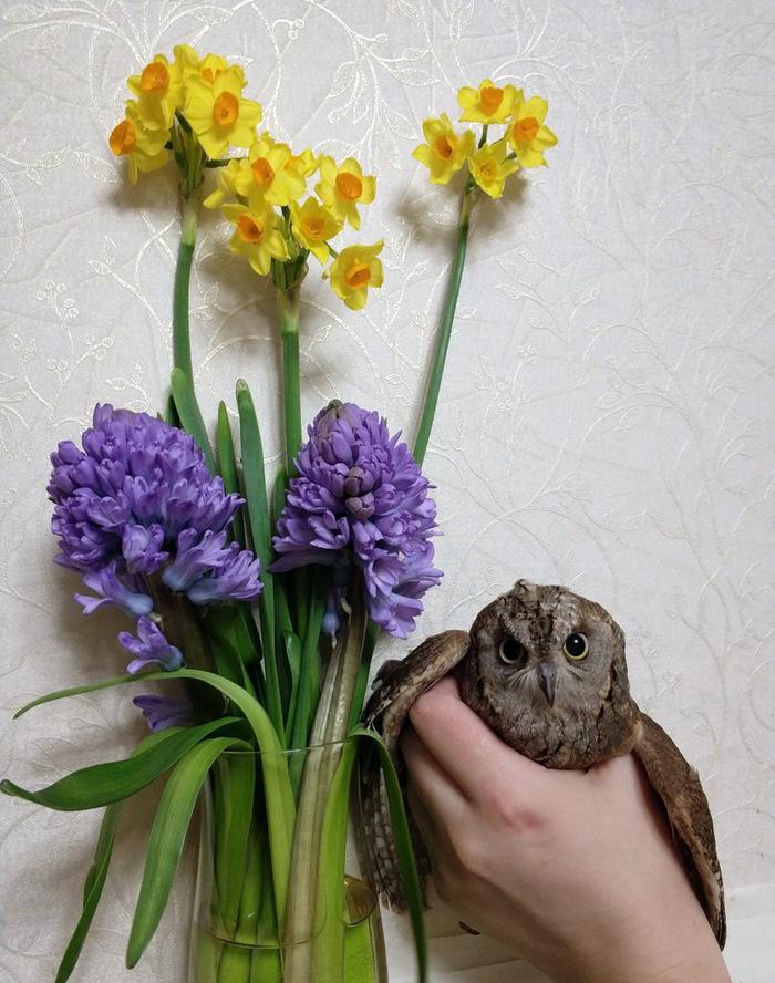 И ещё праздничное Улисс и Совинский, Сова, Сплюшка, Фотография, 8 марта, Длиннопост