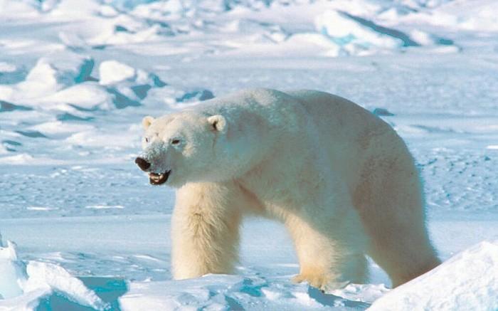 Сколько ест белый медведь. Животные, Медведь, Белый медведь, Дикая природа