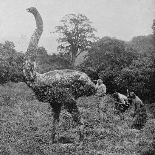 Моа был огромным видом нелетающей птицы, родом из Новой Зеландии. Они могли вырасти почти до 4 метров в высоту и весить 230 кг.