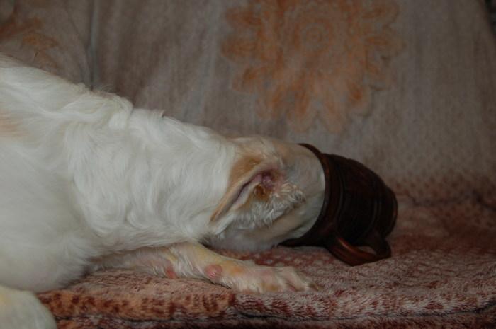Капля. Из рода очень носатых собак. Собака, Борзая, Животные, Собаки и люди