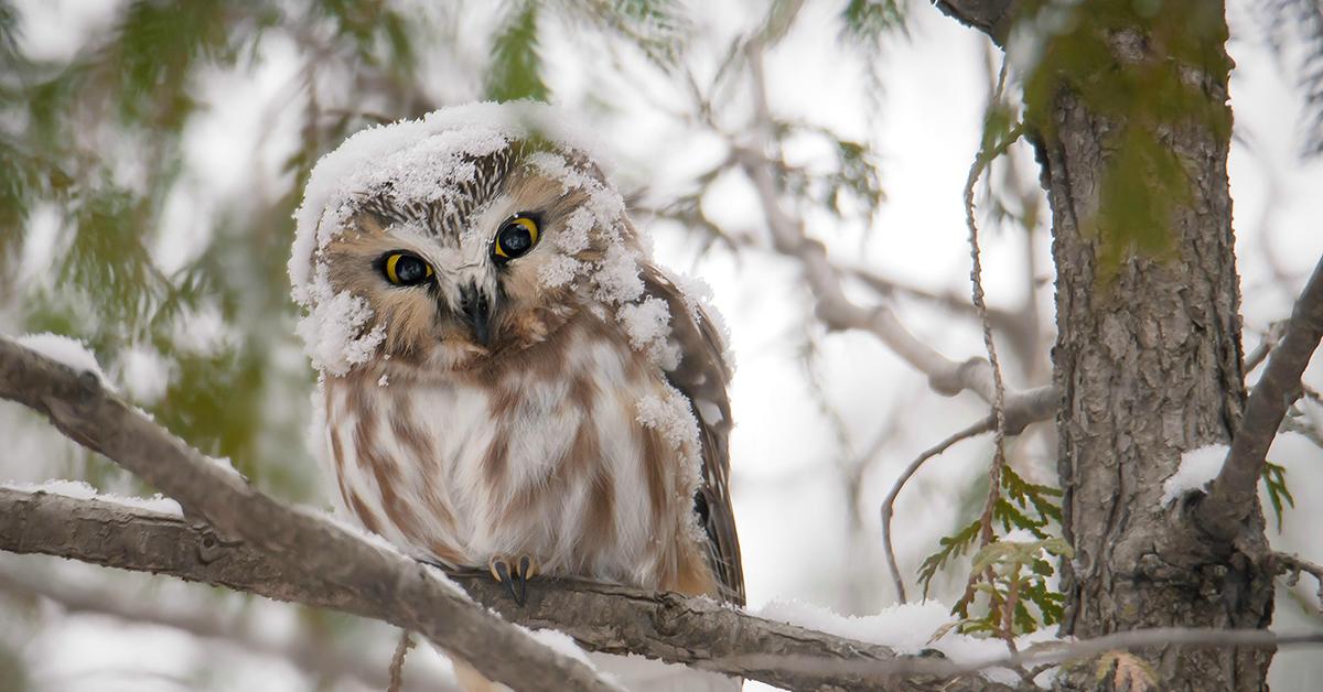 картинки совы зимой в лесу противном случае пригрозил