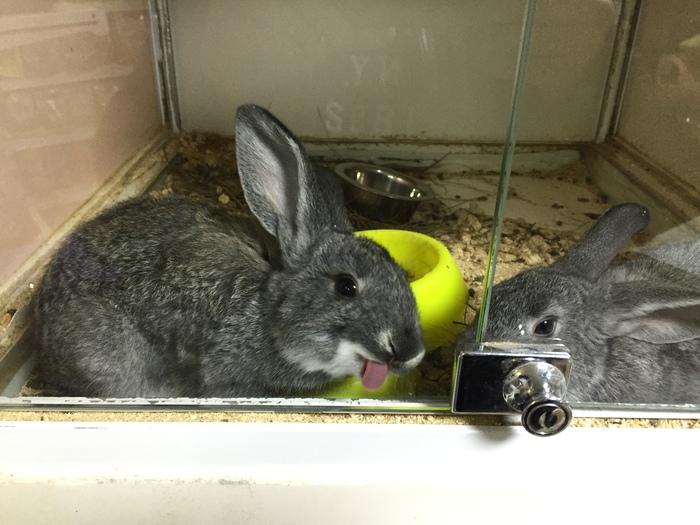 Кролик показал язык