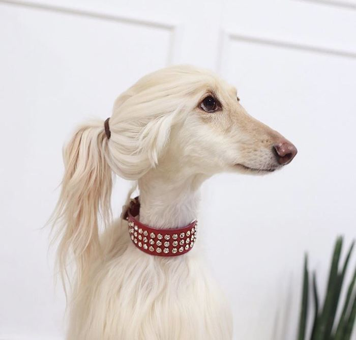 Эта собака выглядит моднее меня