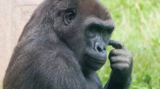 Луис из Филадельфии =) Животные, Горилла, Видео, Зоопарк, Приматы, Филадельфия