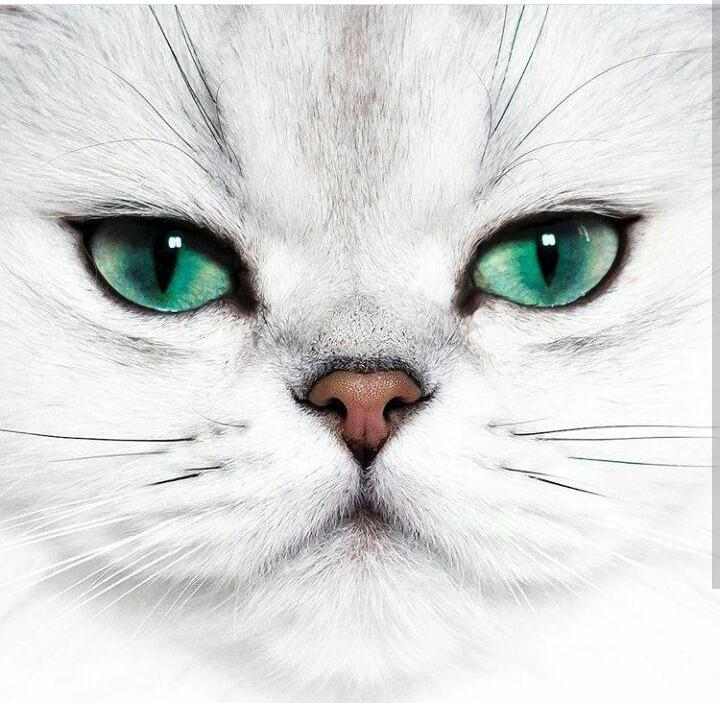 картинки аватарки белый кот четвертый