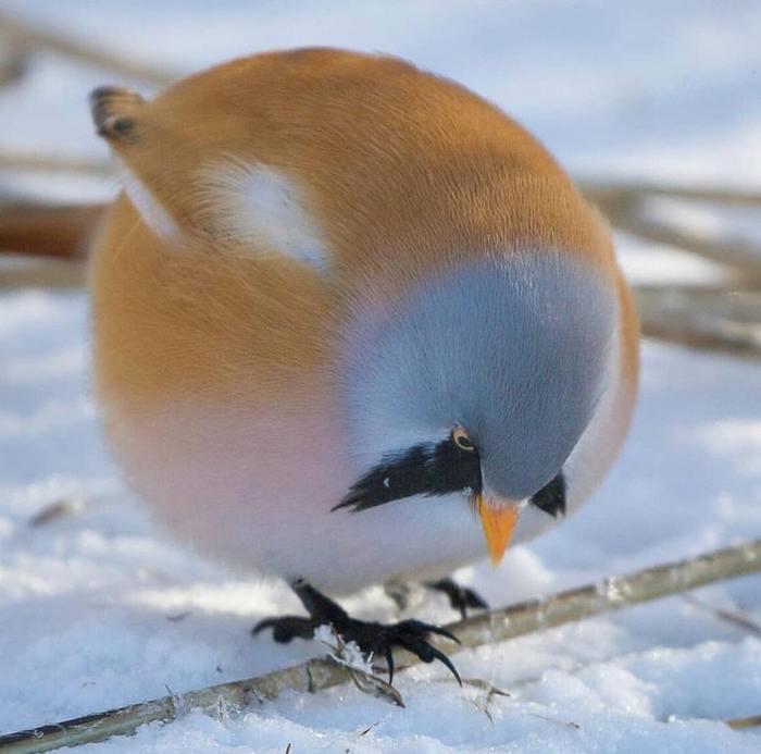Птичка, которая зимовала у бабушки. Фотография, Птицы, Синица, Снег, Зимовка