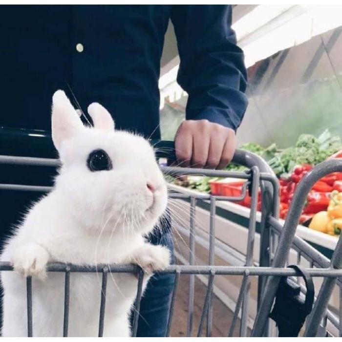 Карликовый Хотот (Dwarf hotot) Кролик, Карликовый хотот, Милота, Dwarf hotot, Длиннопост