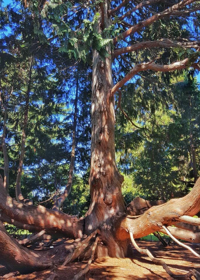 Дерево - мечта детства Гифка, Дерево, Новая зеландия, Длиннопост, Фотография, Крайстчерч