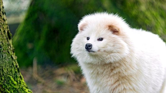 """Я не """"полный песец""""! А белая енотовидная собака!!!"""
