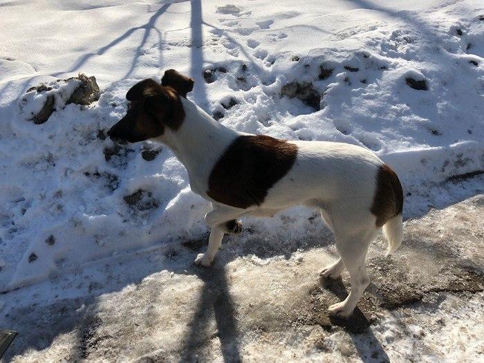 Москва! Найдена собака Фокстерьер, Собака, Длиннопост, Помощь, Помощь животным, Потеряшка, Москва, Без рейтинга