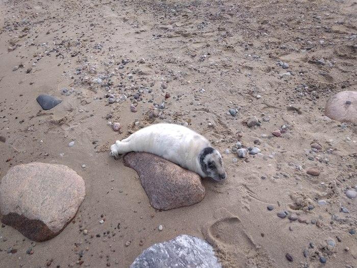 Не будите спящего тюленя. Моё, Реальная история из жизни, Природа, Животные, Фотография, Истории, Балтика, Россия, Длиннопост