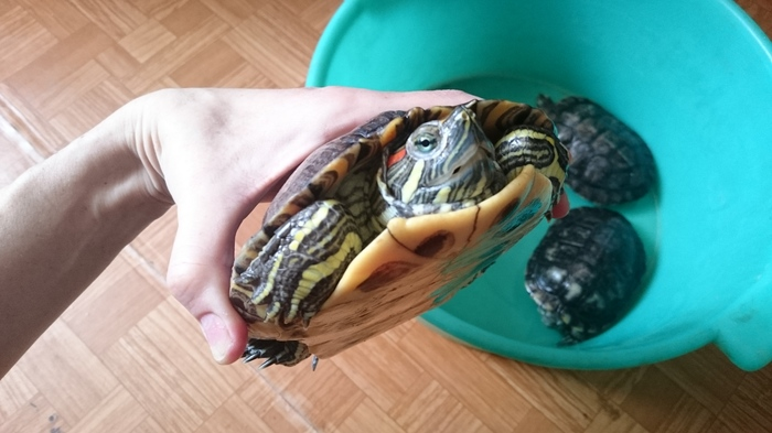 Решила почистить черепашатник, а там... Черепаха, Хобби, Фауна, Яйца, Красноухая черепаха