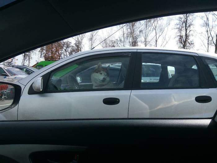 Не видел пса за рулём?! Собака, Хаски, Авто
