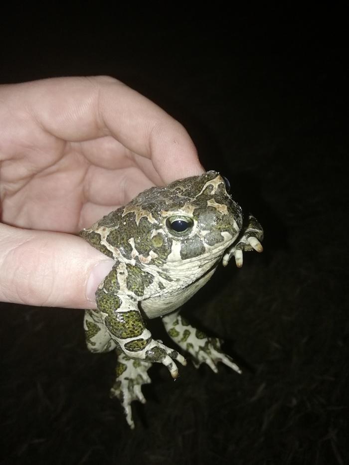 Первая весенняя жаба амфибия, Жаба, герпетология, Гомель, длиннопост