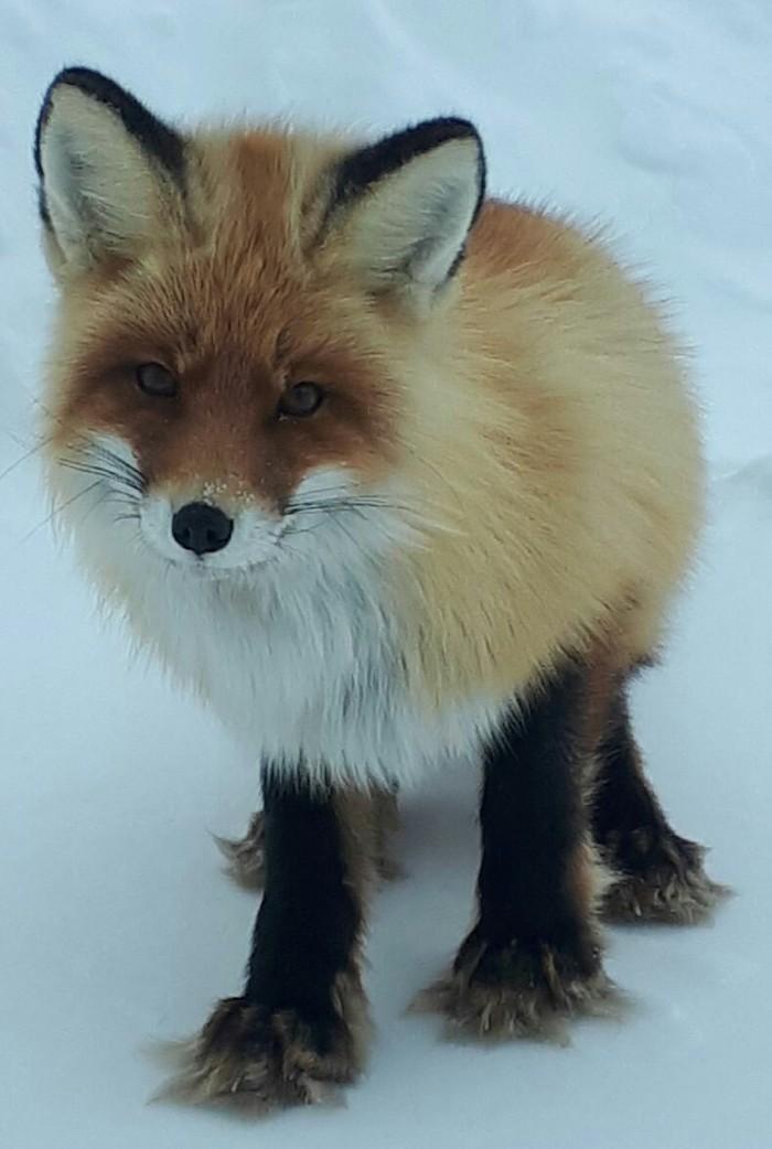 Лисичка Лиса, Страшный зверь, Место работы, Крайний север, Длиннопост, Фотография, Фыр