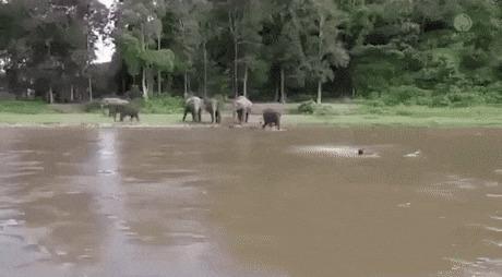 Слоненок решил что человек тонет и собрался его спасти