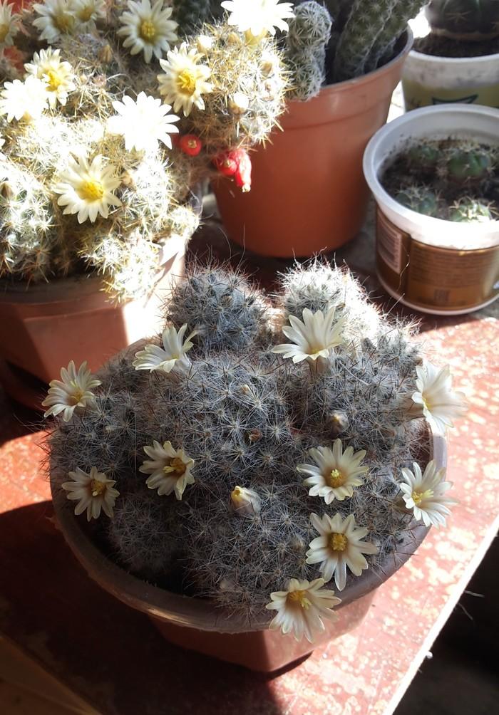 Кактусы зацвели Кактус, Цветы, Весна, Длиннопост