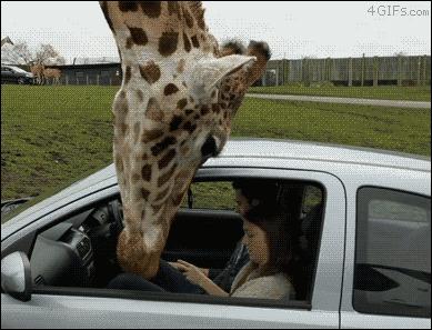 От жирафа не спрячешься.