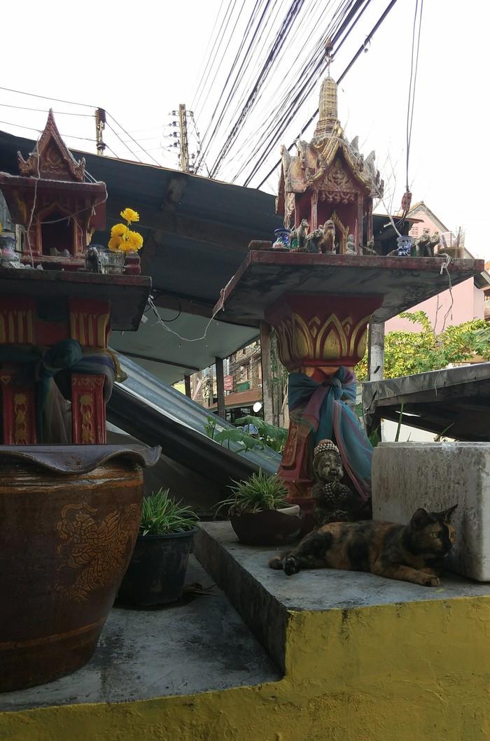 Сиамские котики Таиланд, Сиам, Кот, Длиннопост