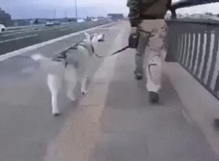 Понятие «ездовая собака» можно трактовать по-разному