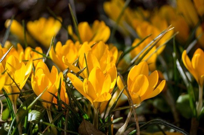 Первоцветы в Аптекарском огороде. Аптекарский огород, Первоцветы, Подснежники, Длиннопост, Весна