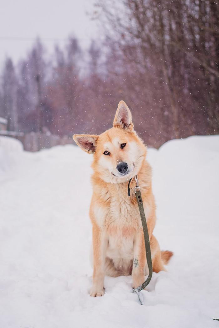 Жёлтые собаки: Голди Bfbbim, Собака, Животные, Самовыгул, Ищу хозяина, Видео, Длиннопост
