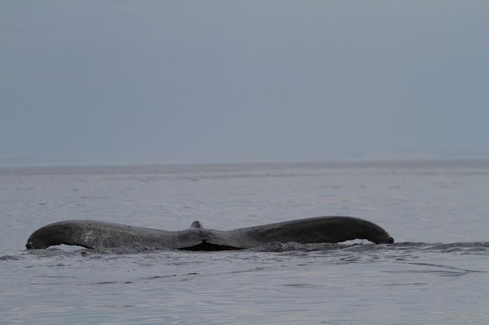Это не динозавр, это горбатый кит Горбатые киты, океан, Камчатка, мечта, морские обитатели, Природа, длиннопост