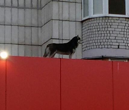 Прогулка Собака, Крыша, Гуляет сам по себе, Длиннопост